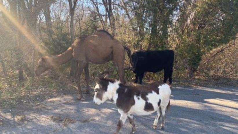 Wielbłąd, krowa i osioł na drodze