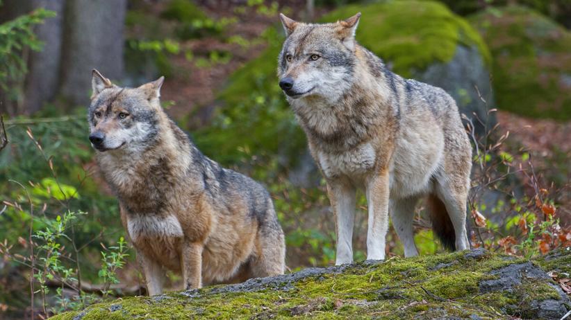 wilki zaatakowały ludzi w Brzozowie