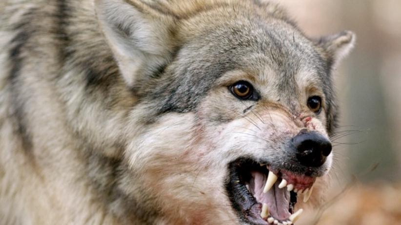 wilki zaatakowały na podkarpaciu