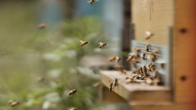 Padły pszczoły z 50 uli. Mogły zostać otrute
