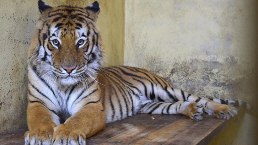 Tygrysy z Poznania