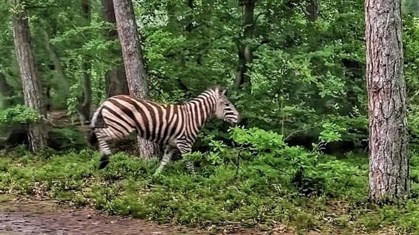 zebra w polskim lesie