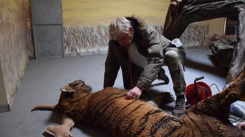 Zoo w Poznaniu z kwarantanną. Co się dzieje z tygrysami?
