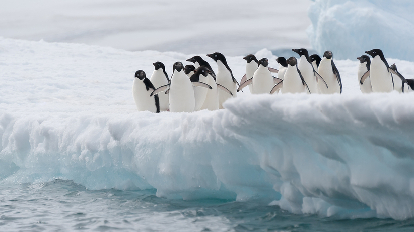 Tysiące piskląt pingwinów utonęło na Antarktydzie. To koniec populacji