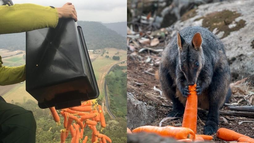 Australia marchewki dla zwierząt