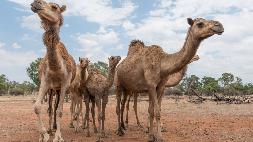 10 tysięcy wielbłądów do odstrzału. Taką decyzję podjęły władze Australii