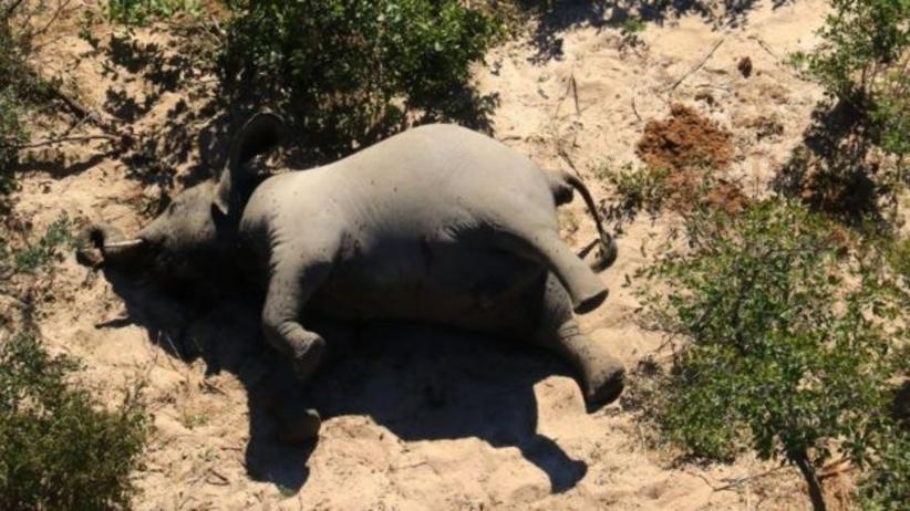350 martwych słoni