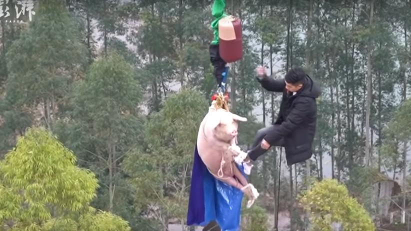 Świnia zmuszona do skoku na bungee. Skandaliczna akcja promocyjna parku rozrywki