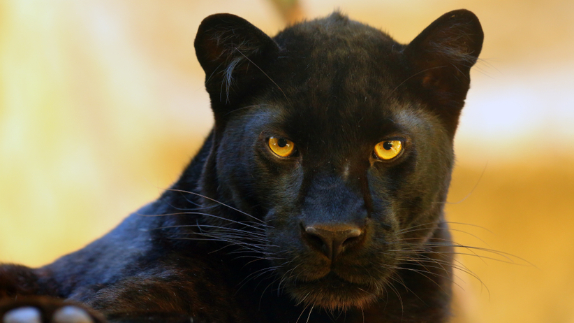 czarna pantera grasuje w Andaluzji