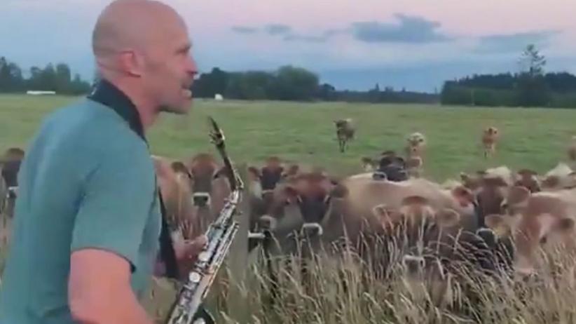Zagrał koncert dla… stada krów. Wideo podbija sieć
