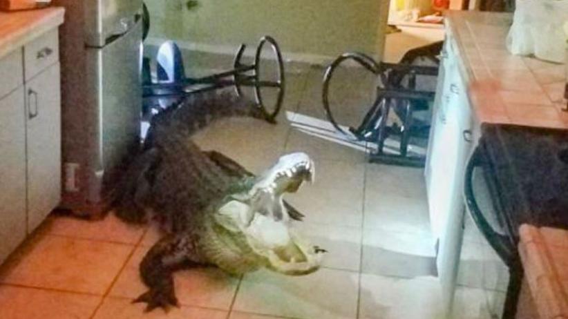 USA: Myślała, że to włamanie. W kuchni znalazła 3-metrowego krokodyla