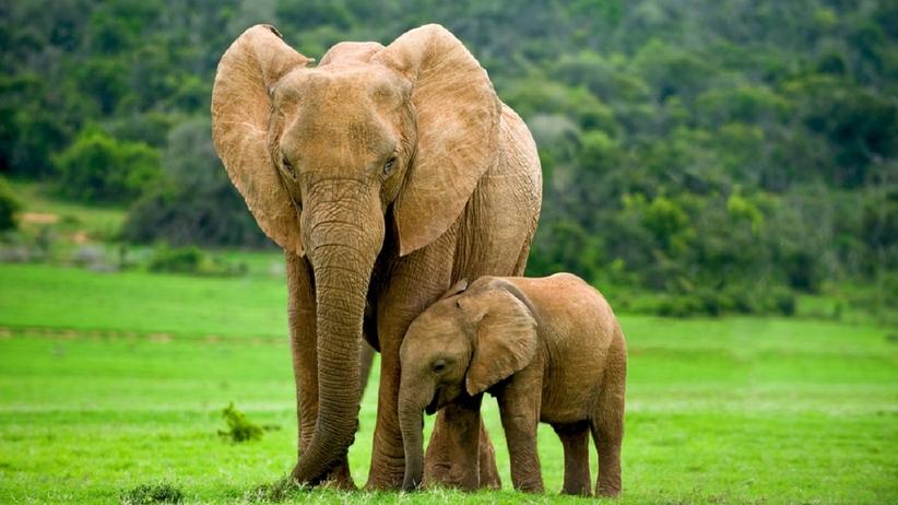 Słonica
