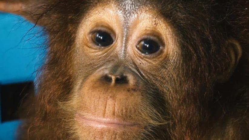 Orangutan Indonezja