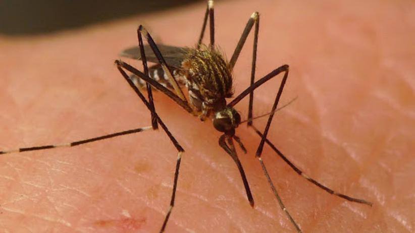 komar azjatycki