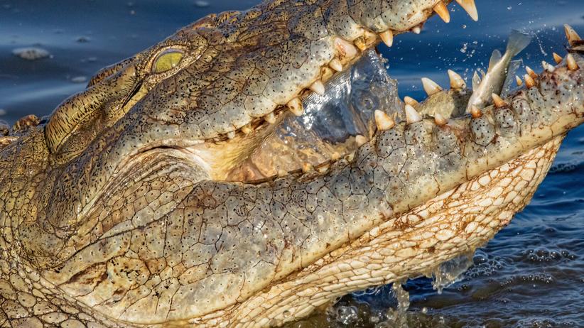 Złamał zasady kwarantanny i poszedł na ryby. Pożarł go krokodyl