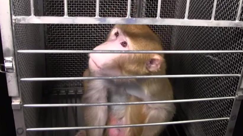 Naukowcy zarazili 18 makaków koronawirusem. Po eksperymencie zwierzęta zabito