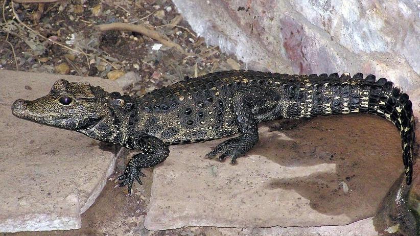 Krokodyl Mireczek odnaleziony