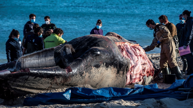 Wieloryb na plaży. Przerażające odkrycie w żołądku ssaka [ZDJĘCIA]