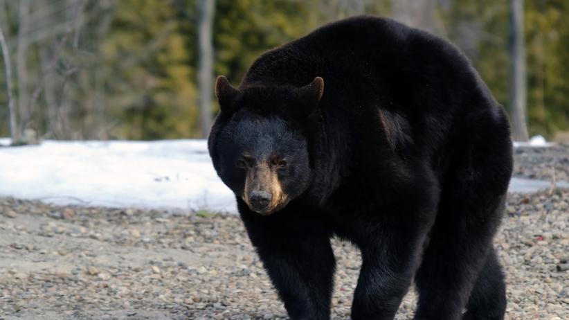 niedźwiedź zaatakował w wychodku