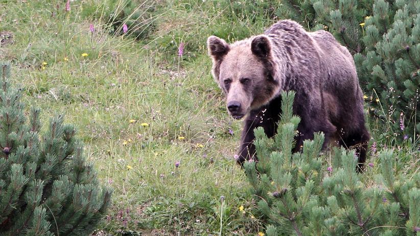 Niedźwiedzie w Tatrach