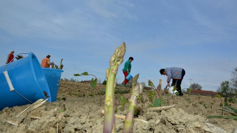 Plantacja szparagów