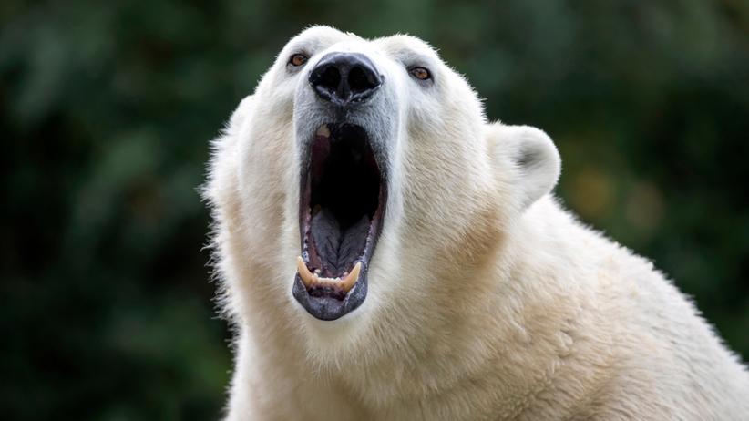 Niedźwiedź polarny zabił człowieka