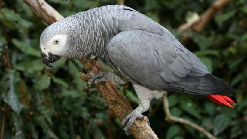 wulgarne papugi wyzywały zwiedzających