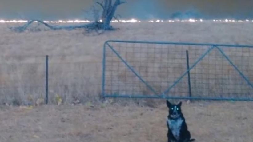 Australia pożary pies
