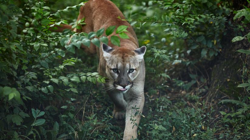 Puma grasuje w czeskich lasach. Policja ostrzega turystów
