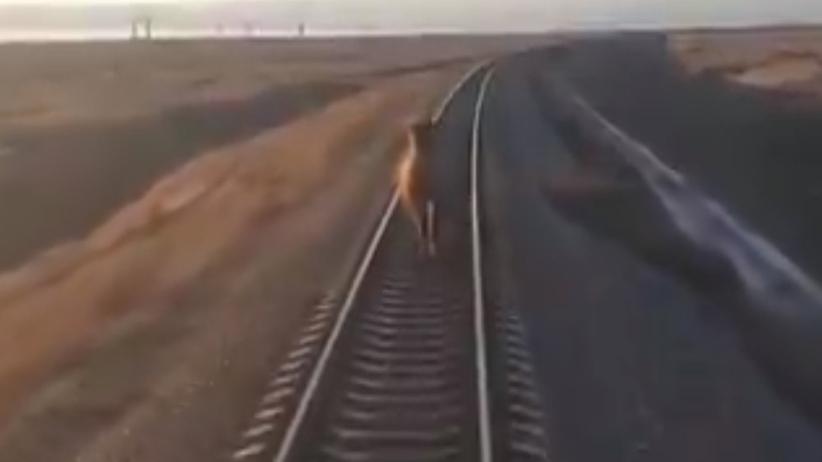 Pociąg wielbłąd Rosja