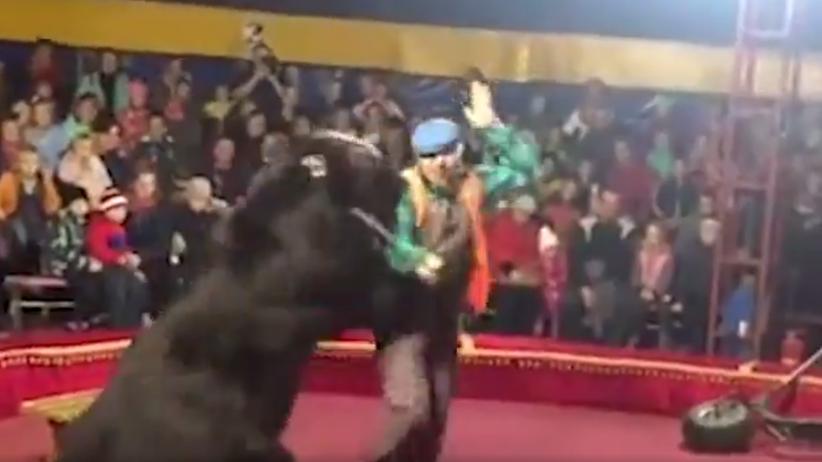 Niedźwiedź zaatakował tresera w cyrku. Nagranie obiegło sieć