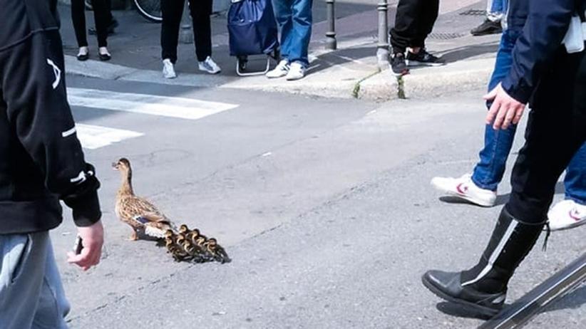 Strażnicy miejscy w Mediolanie eskortowali kaczki, które zgubiły się w mieście