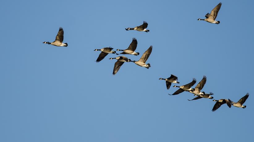 Ptaki zakażone ptasią grypą lecą do Polski