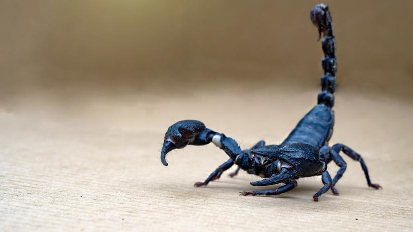 Skorpion w samolocie