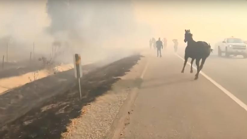 Ewakuacja podczas pożaru. Koń wyrwał się strażakom, by wrócić po swoją rodzinę