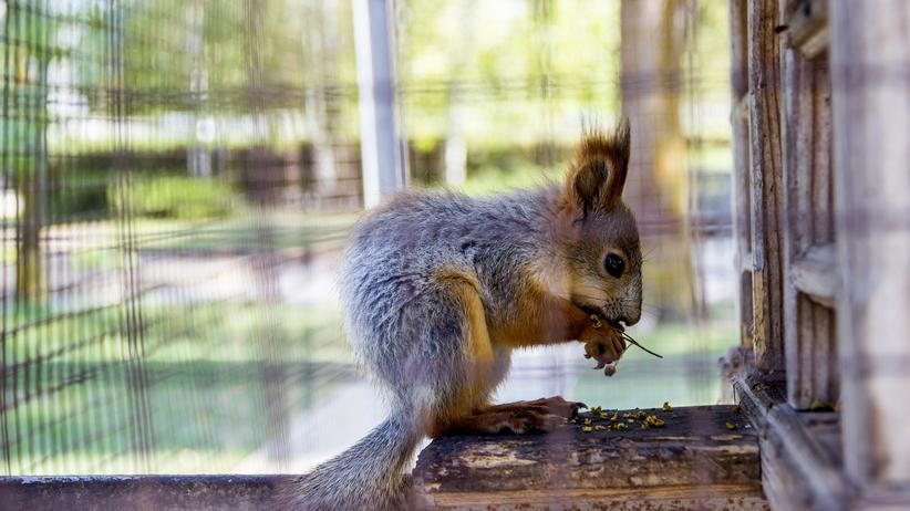Wiewiórka pod wpływem narkotyków. Nietypowe odkrycie w mieszkaniu