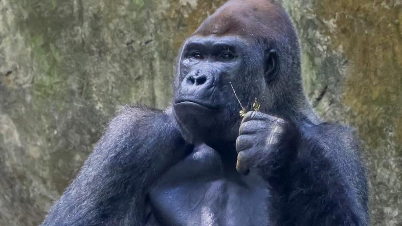 Goryl z zoo w Atlancie, gdzie wykryto Covid-19