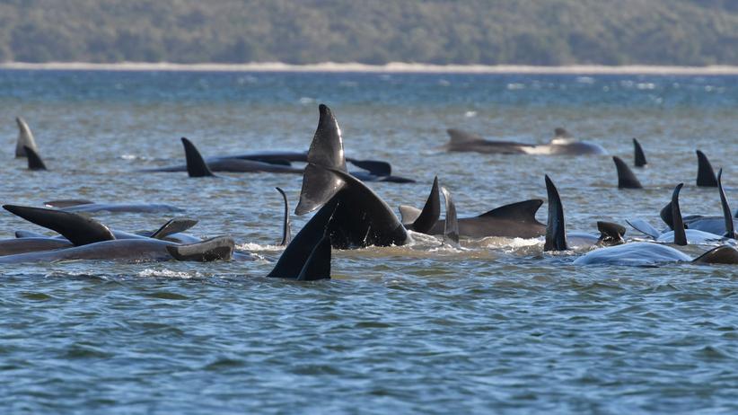 akcja ratowania waleni, które utknęły na mieliźnie