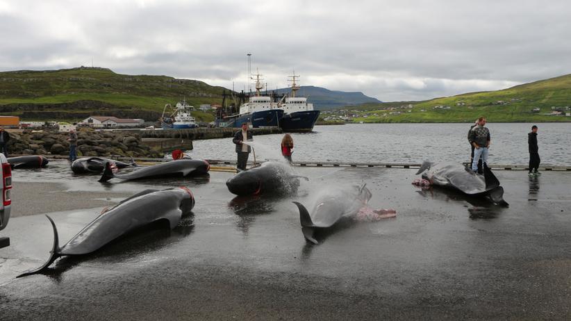 Polowanie na wieloryby i delfiny na Wyspach Owczych