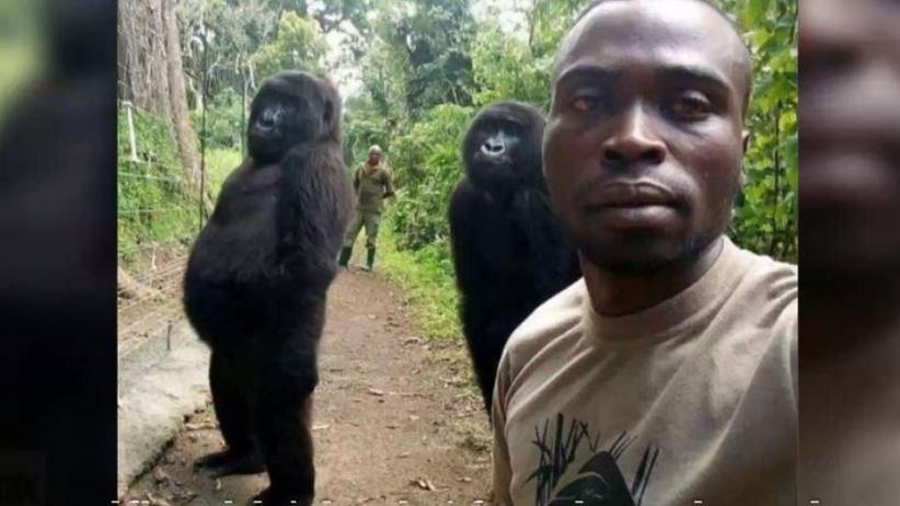 Opiekun goryli zrobił niezwykłe zdjęcie. Ndakazi i Ndeze podbijają sieć